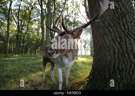 Deer with antlers Close up - Stock Photo