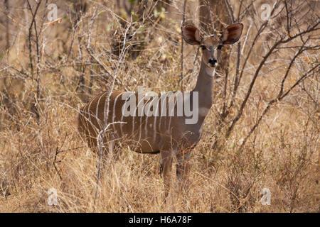Female Greater kudu Tragelaphus strepsiceros Meru National Park Kenya - Stock Photo