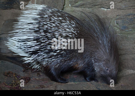 Indian crested porcupine (Hystrix indica), also known as the Indian porcupine. Wildlife animal. - Stock Photo
