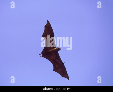 Indian Flying Fox,(Pteropus giganteus) in flight after leaving daytime roost in tree, Rajasthan, India - Stock Photo