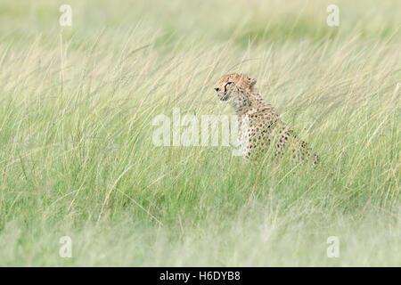 Cheetah (Acinonix jubatus) sitting hiding in grass, looking for prey, Maasai Mara National Reserve, Kenya - Stock Photo