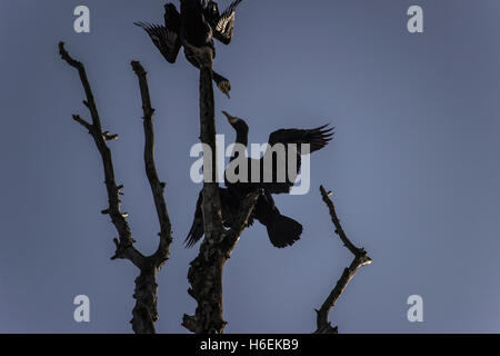 Danube, Serbia - Two great cormorants (Phalacrocorax carbo) spreading their wings high on a tree by the riverbank - Stock Photo