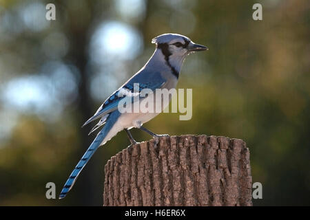 Backlit blue jay perched on fence post - Stock Photo