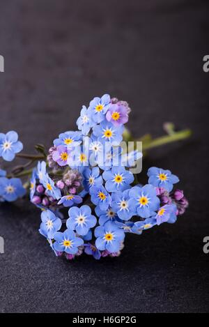 Vertical photo of small flower Myosotis (forget-me-not) with many little blooms and purple buds which is placed - Stock Photo