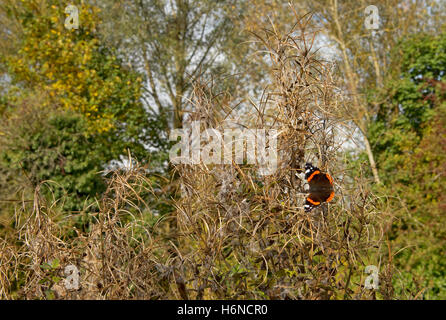 A red admiral butterfly, Vanessa atalanta, in October sunshine on seeding greater willowherb - Stock Photo