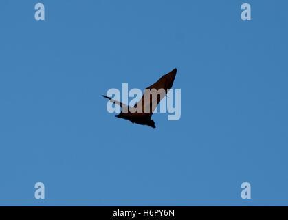Flying-fox in Rinca - Stock Photo