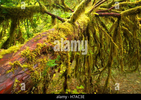 Pacific yew, North Fork of the Middle Fork Willamette Wild and Scenic River, Willamette National Forest, Oregon - Stock Photo