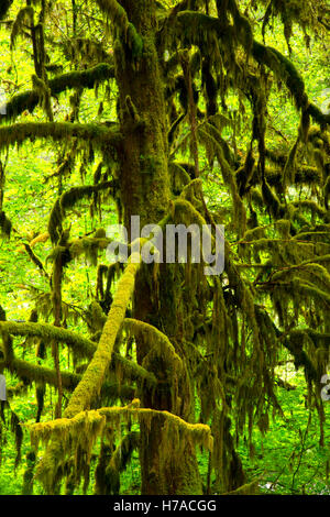 Pacific yew, Willamette National Forest, Oregon - Stock Photo