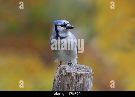 A blue jay (Cyanocitta cristata) perching on a fence post ion a sunny day n Fall - Stock Photo