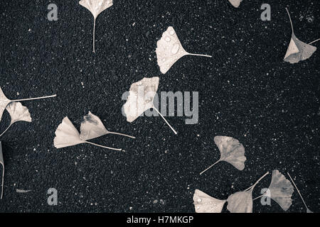 Wet, black and white, b&w, decomposing ginko leaves that have fallen to the ground, on an asphalt sidewalk, in Autumn - Stock Photo