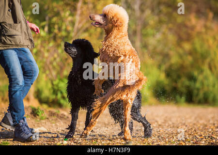 two wet royal poodles waiting that a woman throws a ball in the lake - Stock Photo