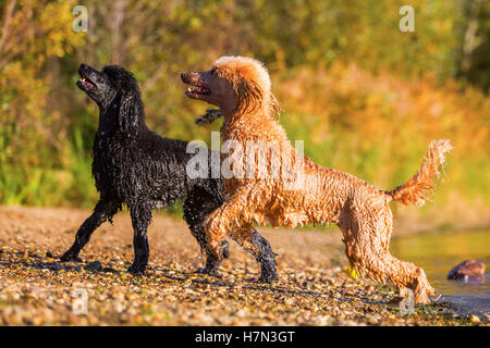 two royal poodles coming wet out of the lake - Stock Photo