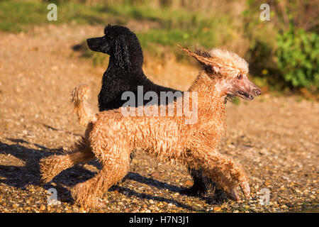 two wet royal poodles having fun at the lake - Stock Photo