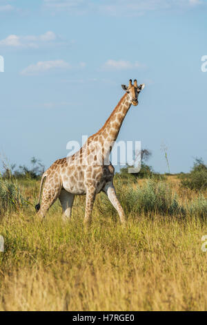South African giraffe (Giraffa camelopardalis) galloping through long grass; Botswana - Stock Photo