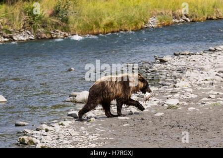 Immature Brown bear fishing for salmon at Bird Creek, Southcentral Alaska, summer - Stock Photo