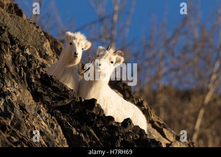 Dall sheep (ovis dalli) ewe and lamb cuddle together on a rocky ridge while laying and resting next to the Seward - Stock Photo