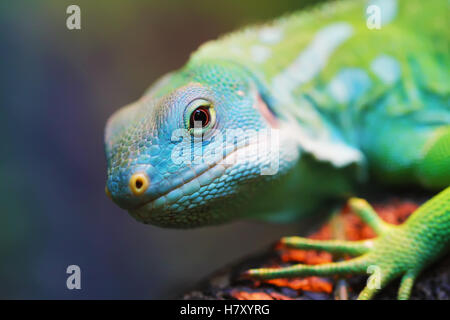 Lizard close up macro animal portrait photo - Stock Photo