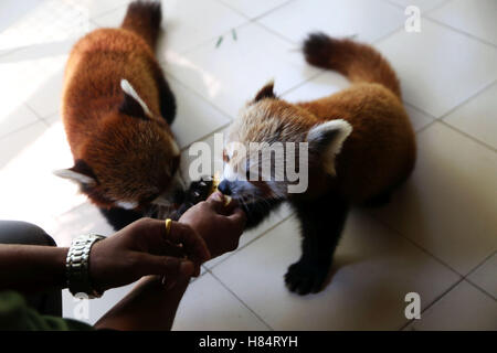 (161109) -- LALITPUR (NEPAL), Nov. 9, 2016 (Xinhua) -- Two red pandas are fed at the Central Zoo in Lalitpur, Nepal, - Stock Photo
