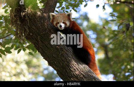 (161109) -- LALITPUR (NEPAL), Nov. 9, 2016 (Xinhua) -- A red panda rests on a tree at the Central Zoo in Lalitpur, - Stock Photo