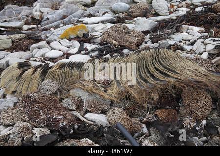 Sei whale Balaenoptera borealis baleen plates Falkland Islands - Stock Photo