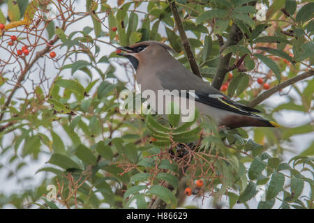 Bohemian Waxwing (Bombycilla garrulus) feeding in a Rowan Tree. - Stock Photo