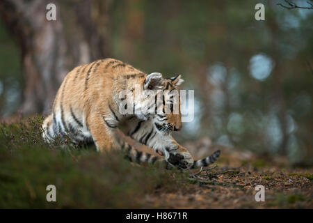 Royal Bengal Tiger ( Panthera tigris ), playful young animal, in the woods, concentrated on something in front of - Stock Photo