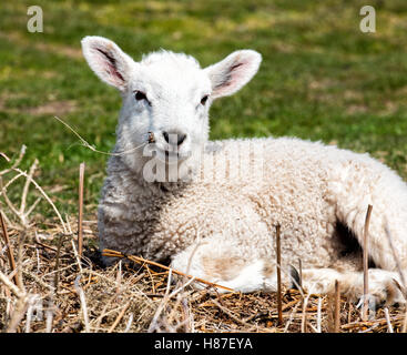Relaxed lamb lying in the sun and chewing on dried grass - Stock Photo