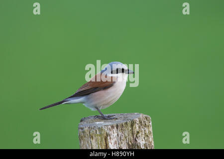 Red-backed shrike (Lanius collurio) male perched on wooden fence post in meadow in spring - Stock Photo