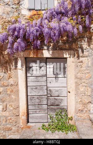 Wisteria on Mediterranean stone wall of old stone house in Montenegro. - Stock Photo