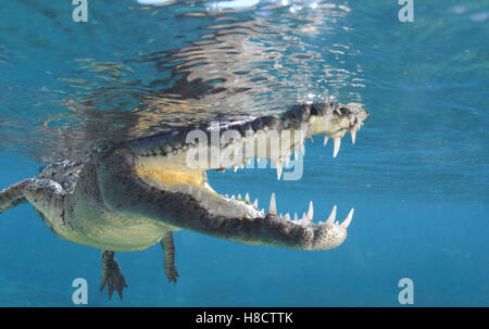 Jardines de la Reina (Gardens of the Queen) is one of Cuba's largest protected area. American crocodile (Crocodylus - Stock Photo