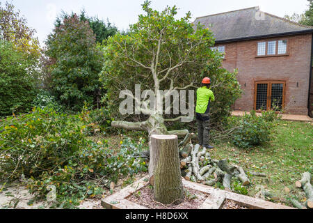 An oak tree in cut down in a garden near a house. The stump is in the foreground with ring in the wood. A lumberjack - Stock Photo
