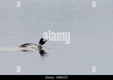 Goldeneye ( Bucephala clangula ), male in breeding dress, swimming, courting on a lake, on distance, Sweden, Scandinavia. - Stock Photo