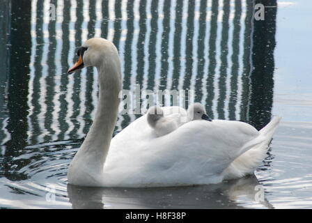 Mute swan (Cygnus olor) with two young cygnets riding on its back - Stock Photo