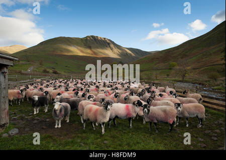 Sheep in a sheep pen, gathered of mountains in Lake District, Cumbria, UK. - Stock Photo