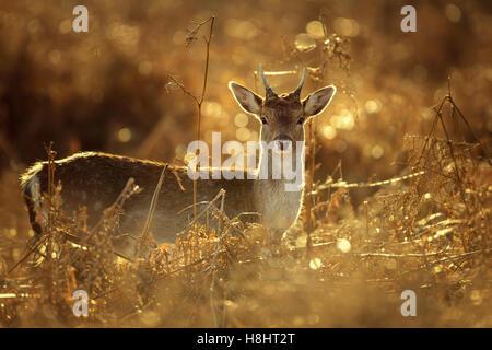 Young Fallow Deer buck in golden light - Stock Photo