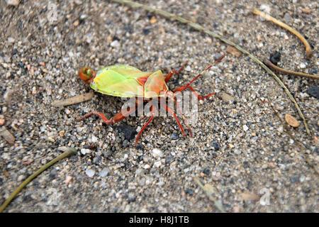 Green orange beetle, found in northern Argentina - Stock Photo