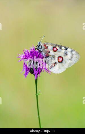 Roter Apollofalter Weibchen, Parnassius apollo lithographicus, Female Apollo Butterfly - Stock Photo