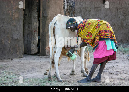 Maasai Woman milking a cow, wearing traditional attire, in a village near the Masai Mara National Park, Kenya, East - Stock Photo