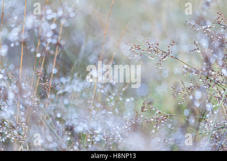 Sparkling dew on grasses, like tiny stars, with dew bokeh - Stock Photo