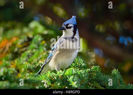 An eastern Blue Jay, Cyanocitta cristata, perched on a spruce tree branch in Alberta Canada - Stock Photo