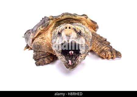 Alligator snapping turtle,Macrochelys temminckii - Stock Photo