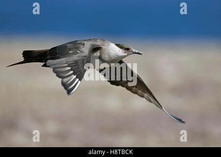 Parasitic jaeger / Arctic skua / parasitic skua (Stercorarius parasiticus) flying over tundra - Stock Photo