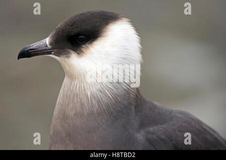 Close up portrait of parasitic jaeger / Arctic skua / parasitic skua (Stercorarius parasiticus) - Stock Photo