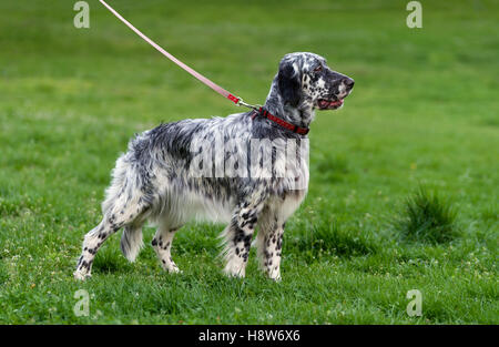 Cute blue belton English Setter dog is standing in a spring flowering meadow and looking into the distance - Stock Photo