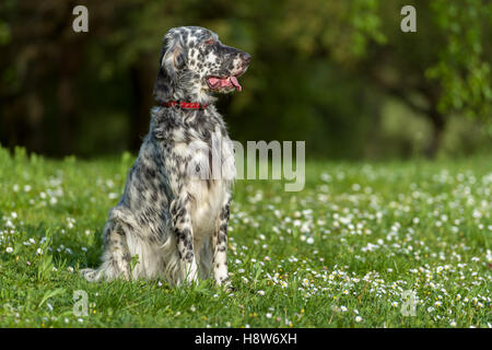 Cute blue belton English Setter dog is sitting in a beautiful spring flowering meadow before a groves background - Stock Photo
