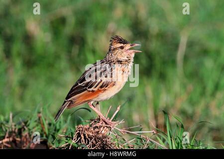 Somali crested lark (Galerida cristata somaliensis) singing on ground, Masai Mara, Kenya - Stock Photo