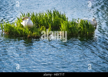 Two white swans on a small island in a lake. - Stock Photo