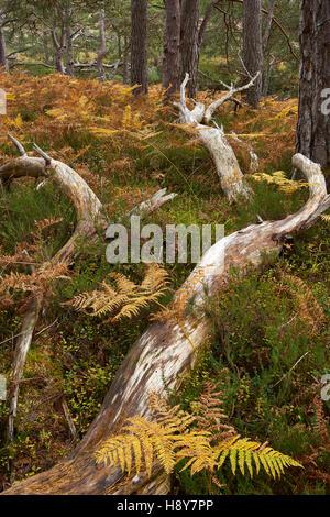 Fallen tree in Caledonian native pinewood, Bridge of Grudie, near Kinlochleven, Wester Ross, Highland, Scotland. - Stock Photo