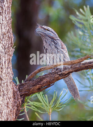 The Tawny Frogmouth (Podargus strigoides) is an Australian species of frogmouth, a type of bird often mistaken for - Stock Photo