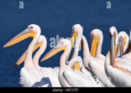 Pelican flock rest on ground - Stock Photo